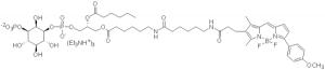 BODIPY TMR PI(3)P - Echelon Biosciences