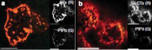 Z-A345, PIP3 antibody - Echelon Biosciences