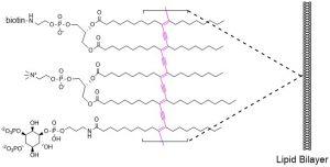 PolyPIPosomes - Echelon Biosciences