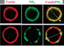 Z-G045, fluorescein PIP2 antibody - Echelon Biosciences