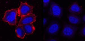 Z-P004, anti-PI4P antibody, Echelon Biosciences
