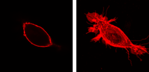 Z-P045, anti-PIP2 antibody, Echelon Biosciences