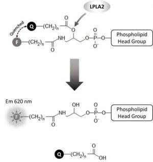 K-7000A, LPLA2 Activity Assay - Echelon Biosciences
