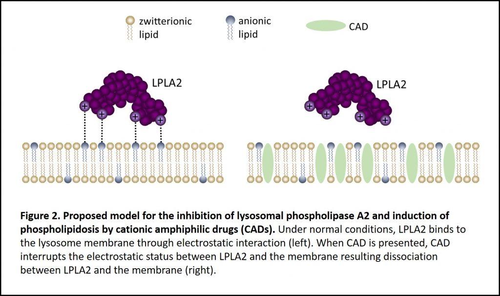 LPLA2, lysosomal phospholipase A2, cationic amphiphilic drugs, CAD