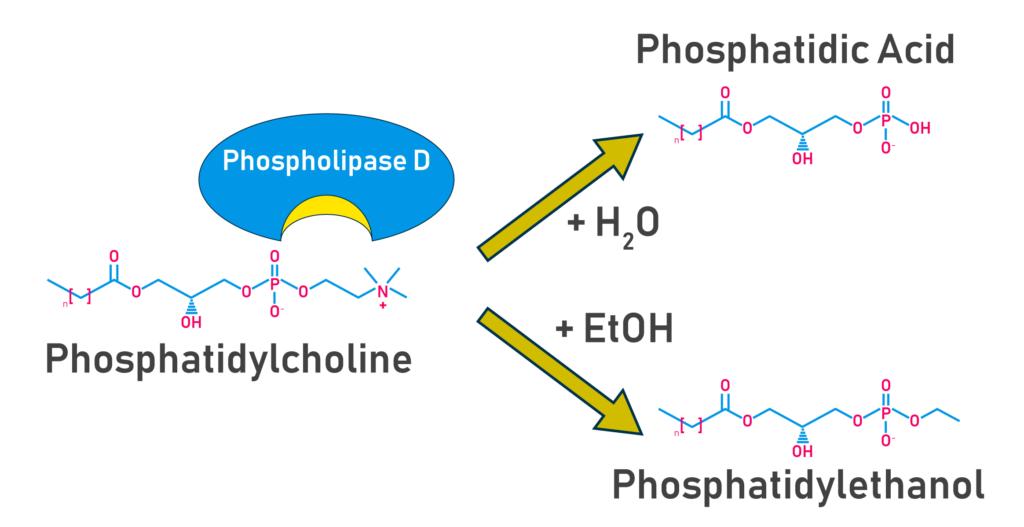 PEth synthesis via phospholipase d - Echelon Biosciences