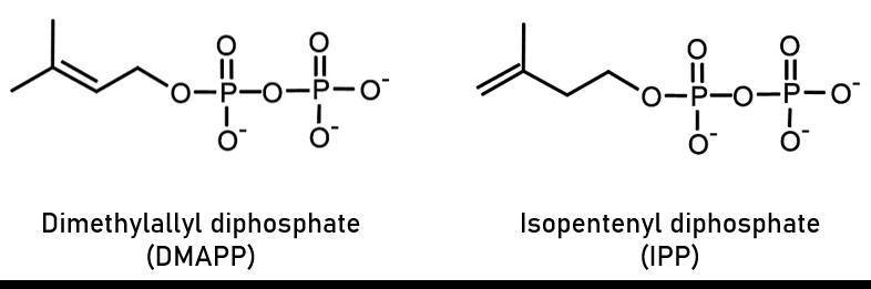 Isoprenoid precurors, IPP and DMAPP - Echelon Biosciences